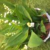 muguet 10 plants- panier osier