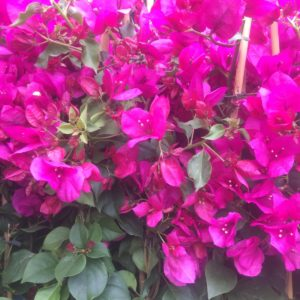 bougainvilliers extra