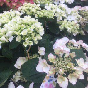 hortensia extra