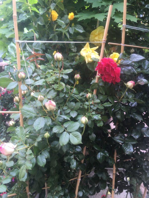 rosier grimpant extra