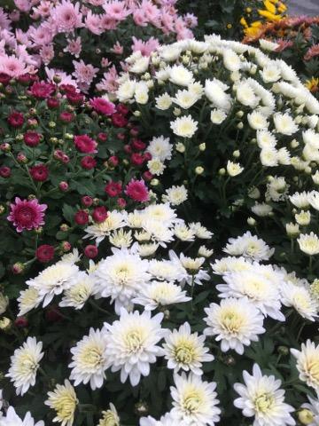 pot de chrysanthèmes